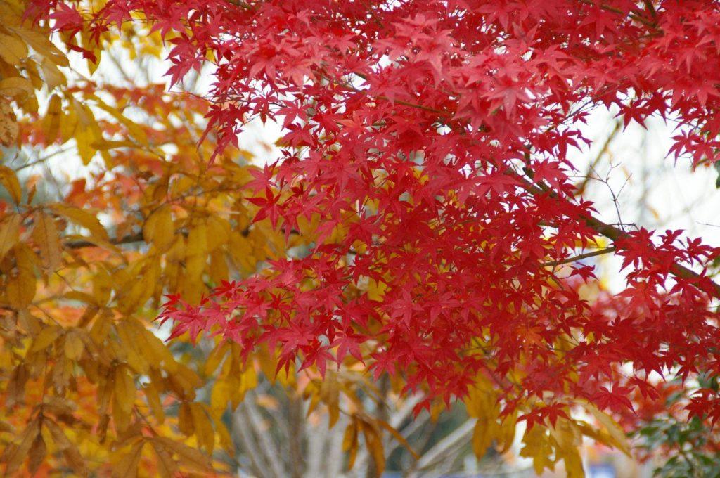 「もみじ」は秋を彩るトップスター