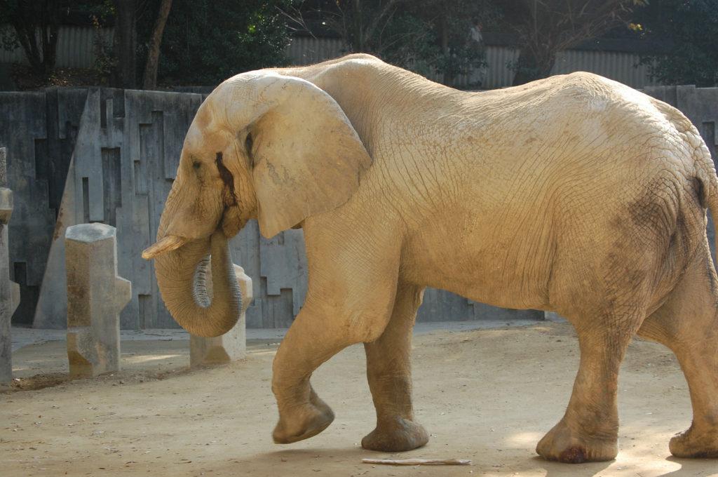 ゆっくり歩く象