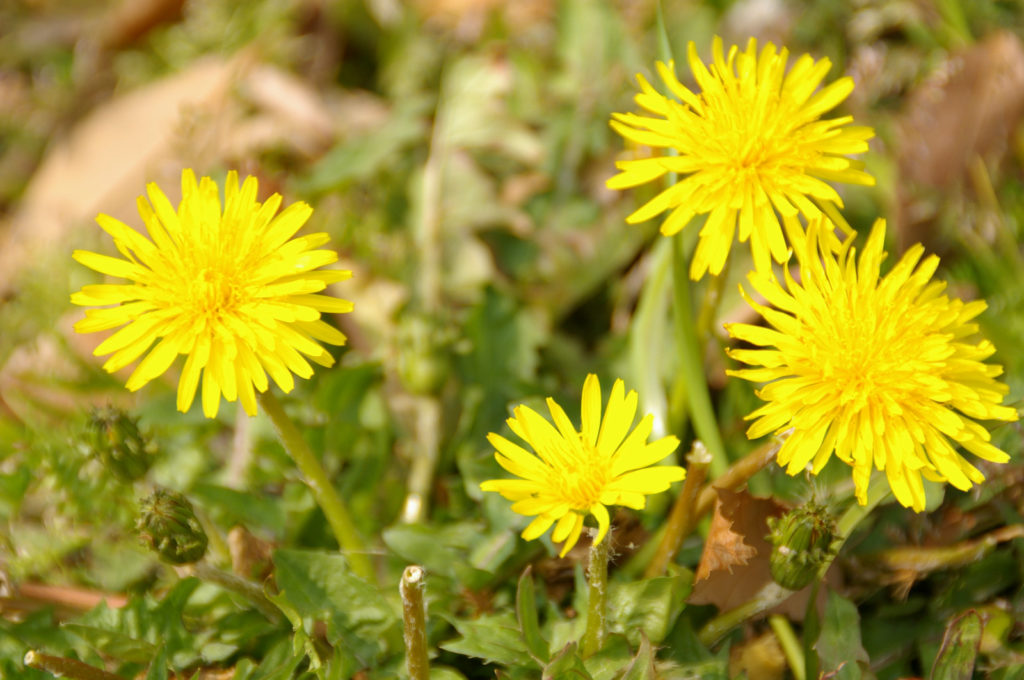 たんぽぽの花と花言葉