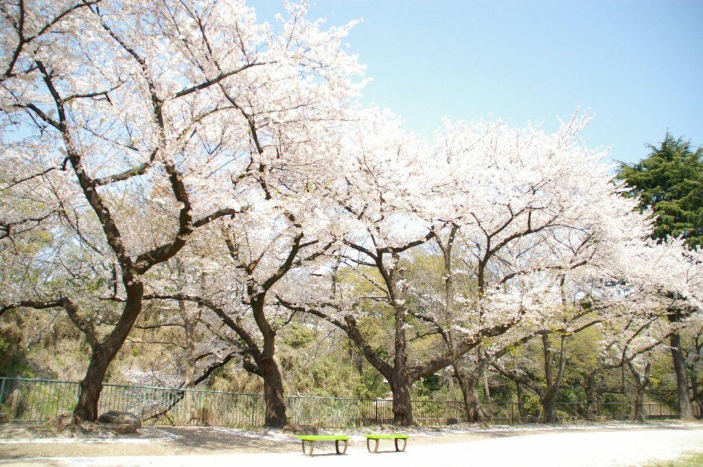 公園に咲く満開の桜