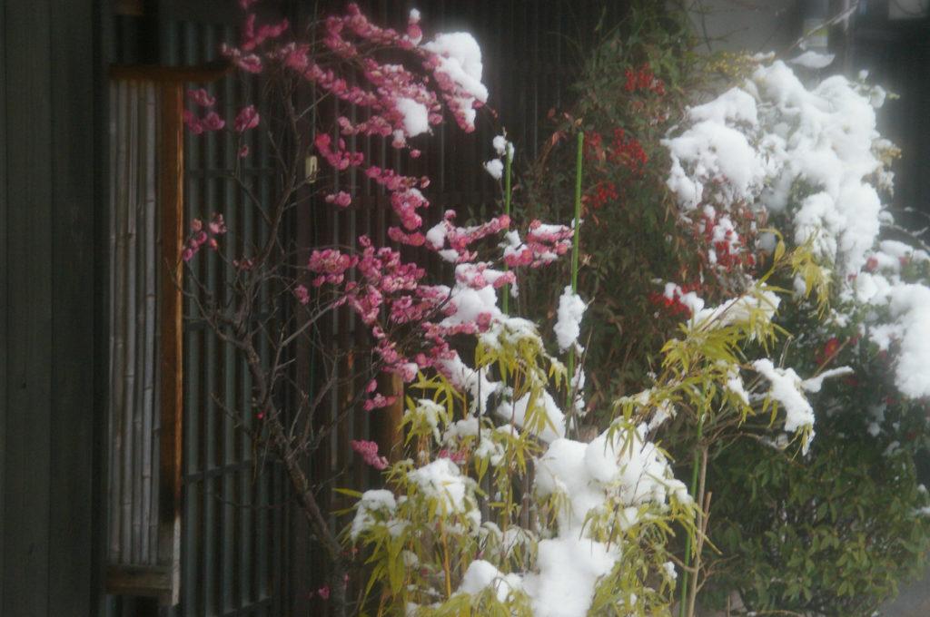 梅の花と雪