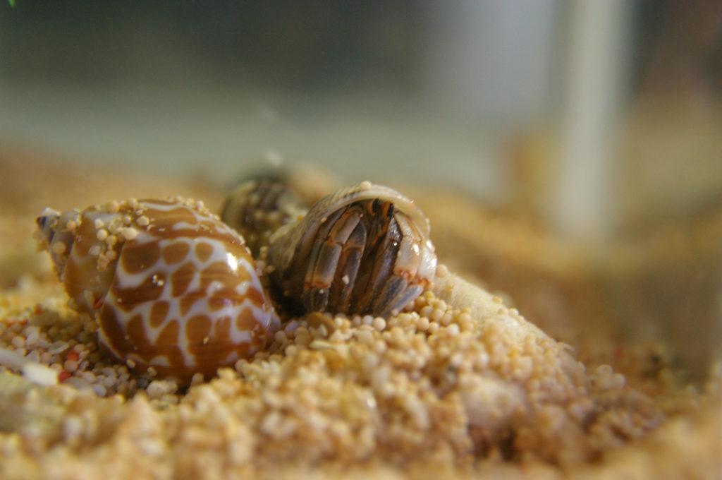 小さな貝殻に身をひそめるヤドカリ