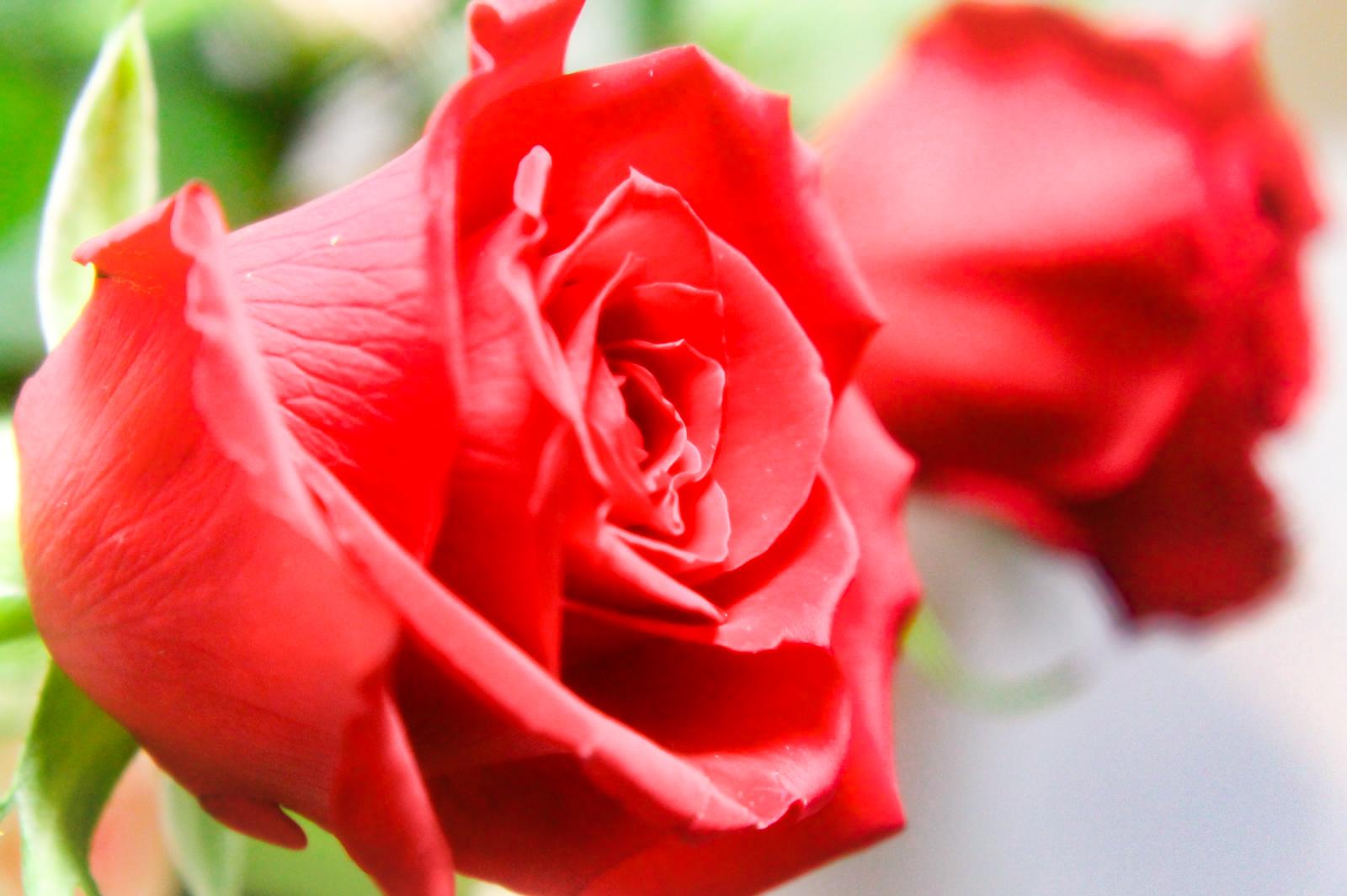 赤い薔薇(バラ)2本