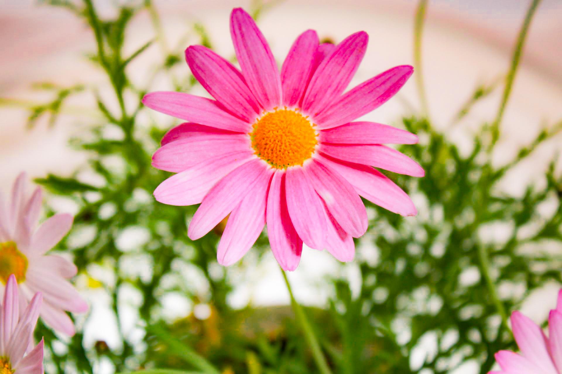 マーガレット ピンク色