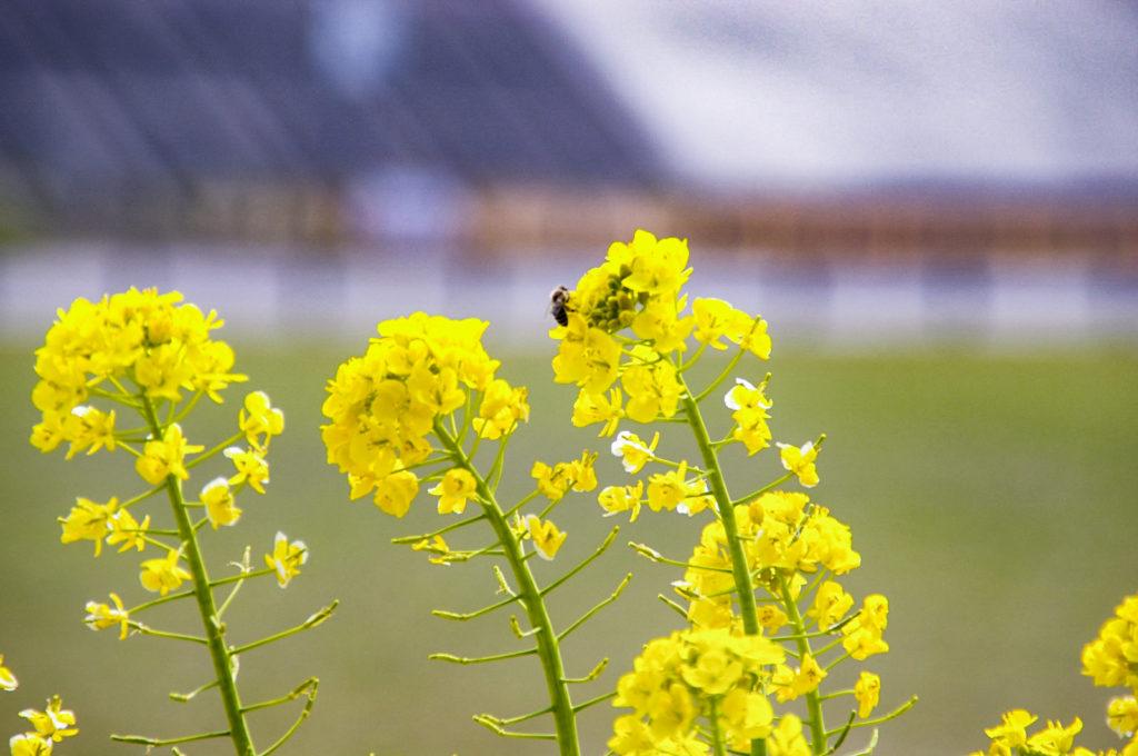 菜の花の花粉を体につける蜂
