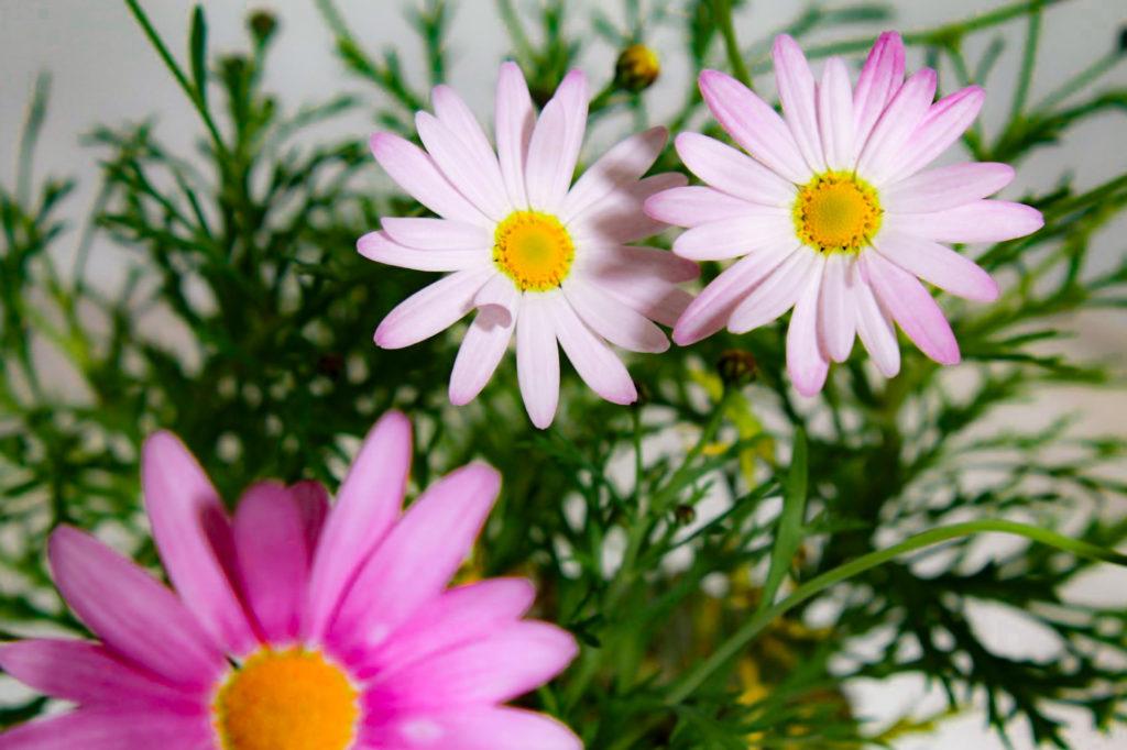 真っ白な花びらのマーガレット