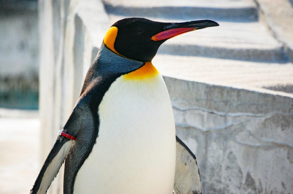 一人静かに目を閉じるペンギン