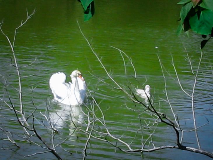 公園の池に浮かぶ白鳥