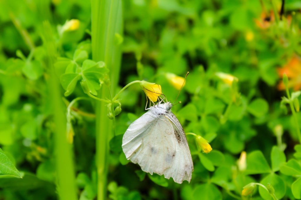 草にとまる蝶々