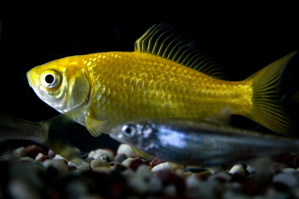 金魚の下を泳ぐメダカ