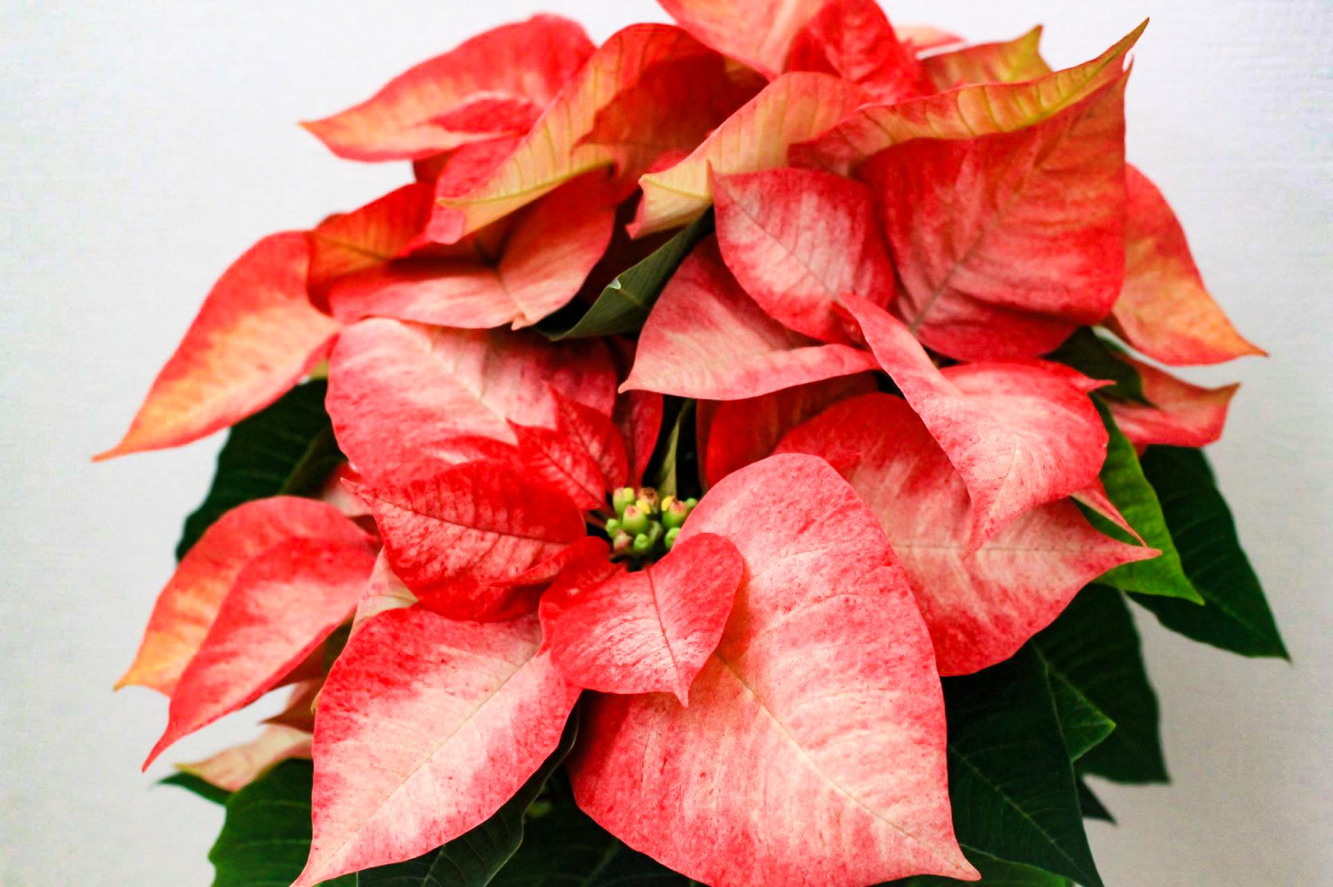 クリスマスの植物といえばポインセチア