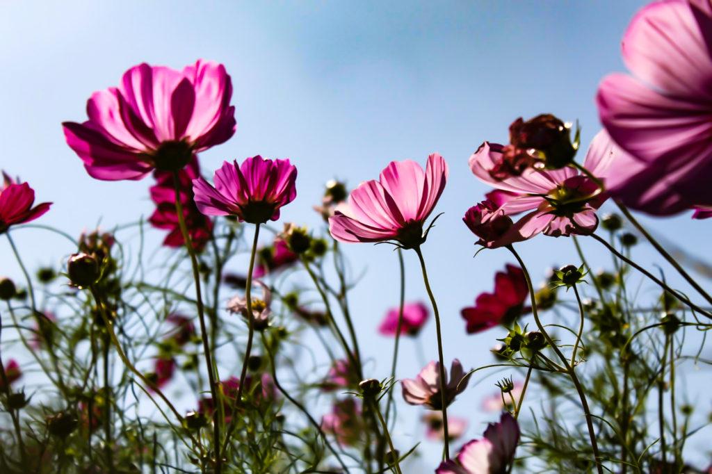 コスモスの花と花言葉