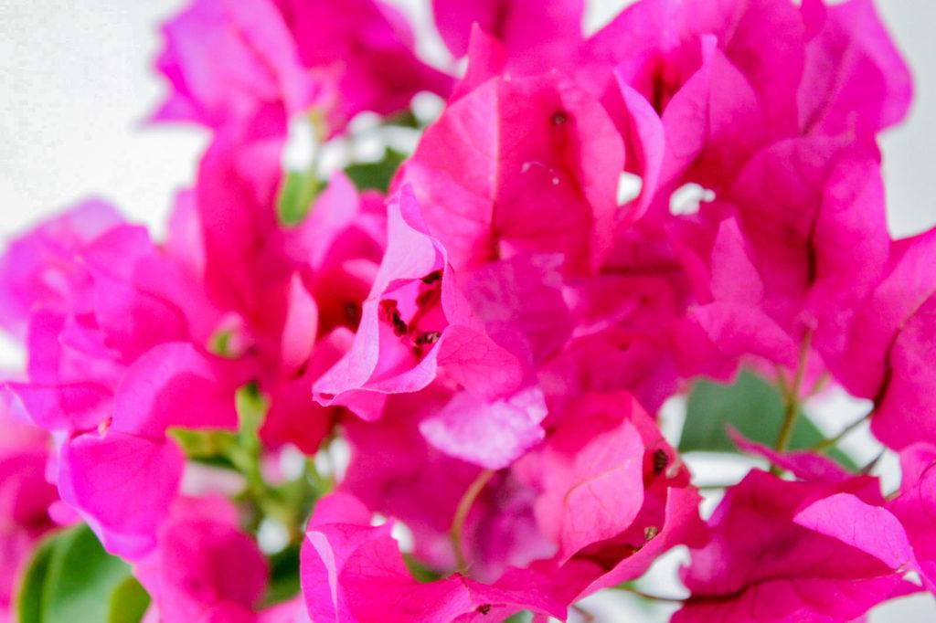 ピンクの花びら:ブーゲンビリア