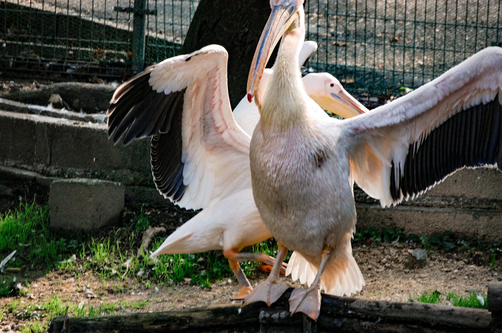翼を広げるペリカン
