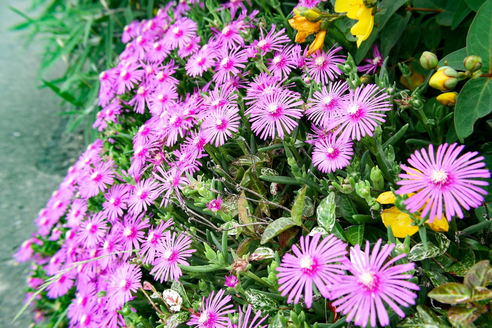 太陽の明かりで花を開く松葉菊(マツバギク)