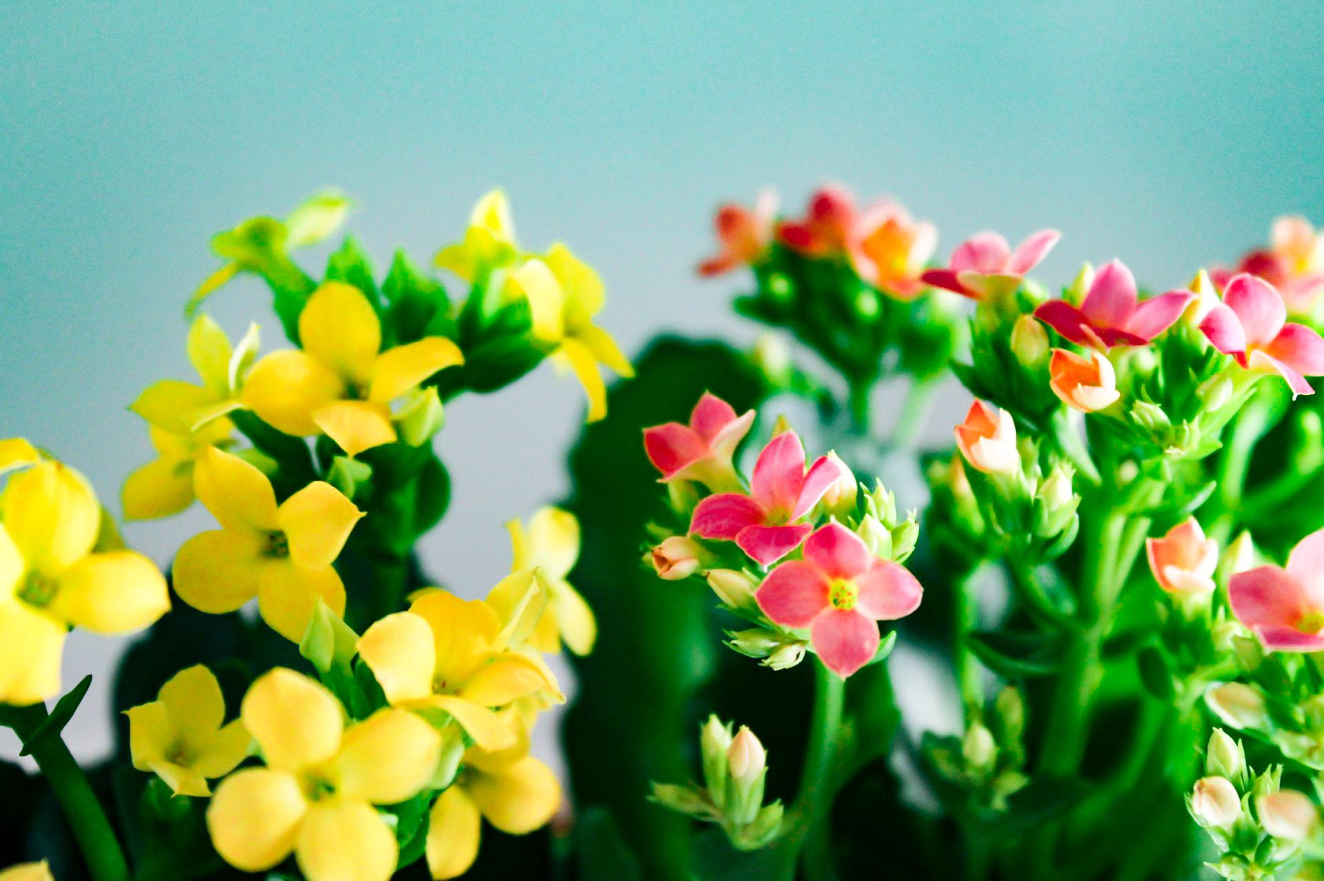 カランコエ黄色とピンクの寄せ植え