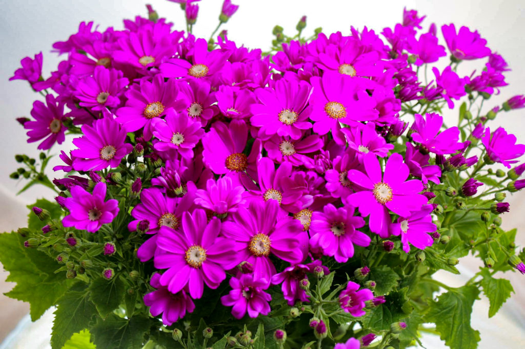 ピンク色のサイネリア
