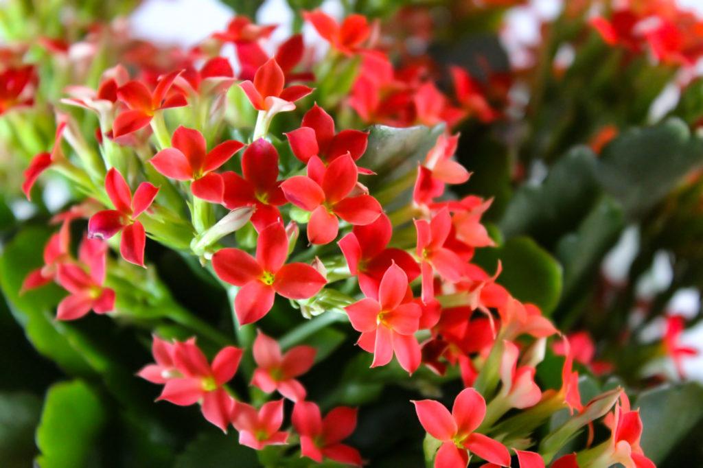 赤色のカランコエ