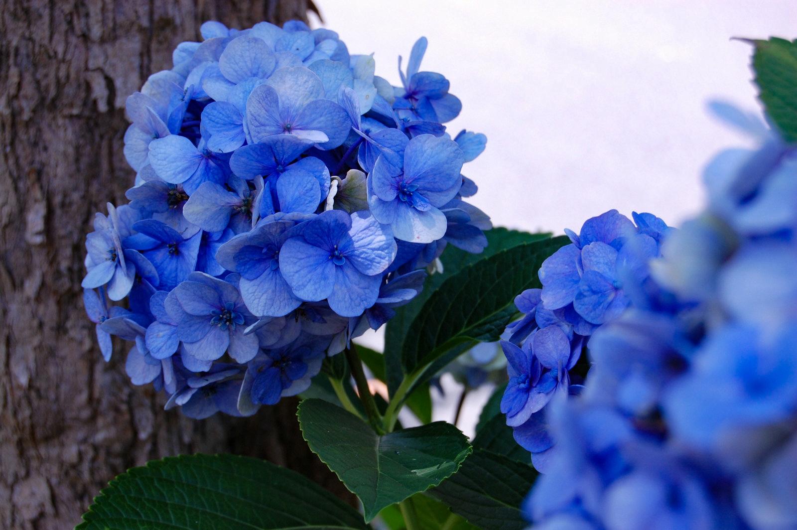 青色の紫陽花