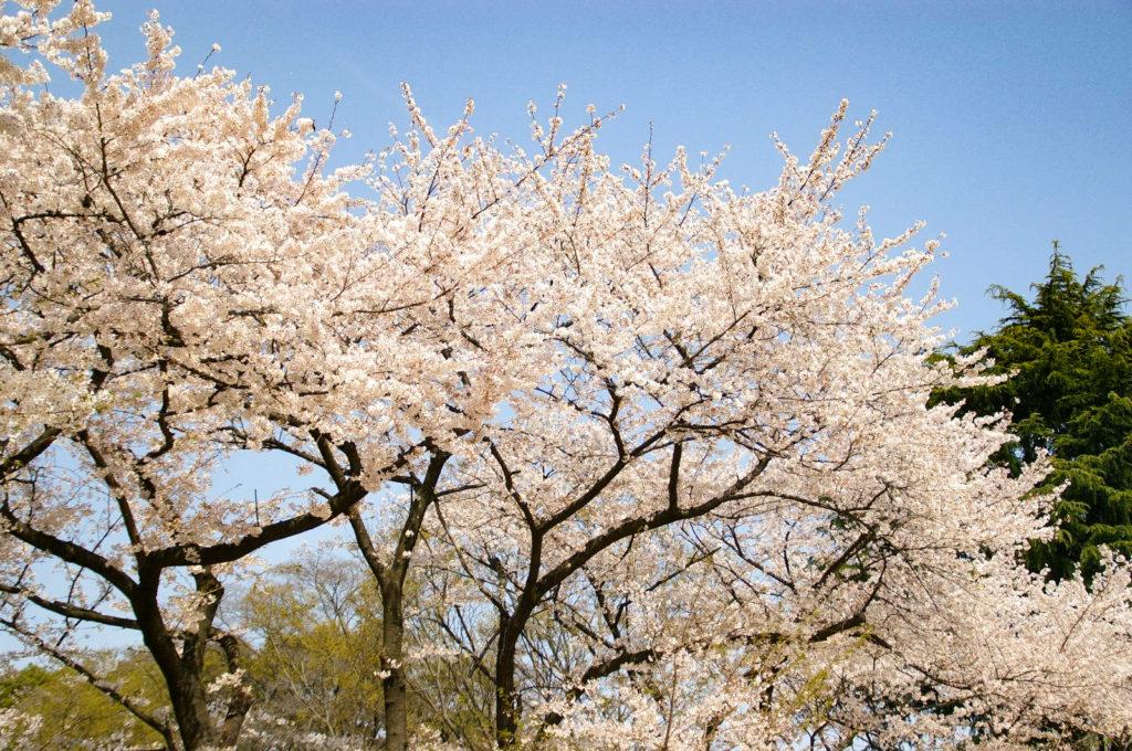 青空に映える満開の桜の花