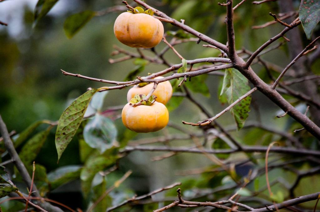 木に実っている3つの柿
