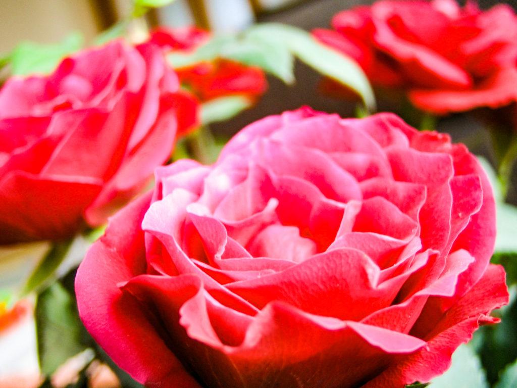赤いバラの花1輪