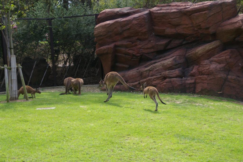 餌に向かって勢いよく駆け寄るカンガルー