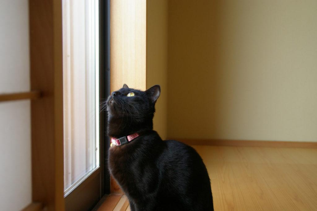 窓の外を見上げる黒猫