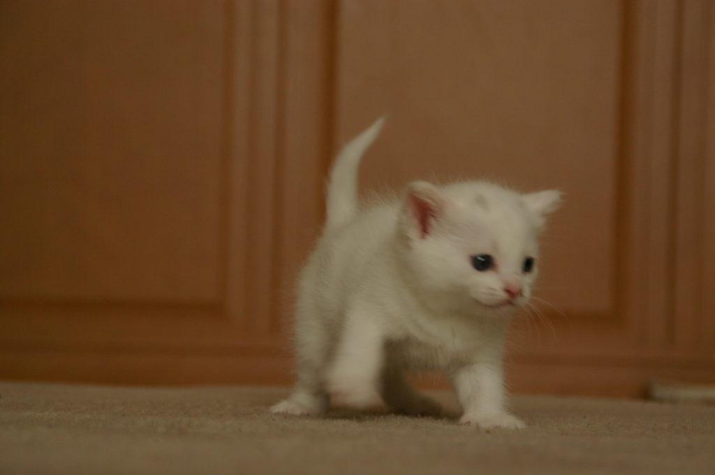 かわいい白猫