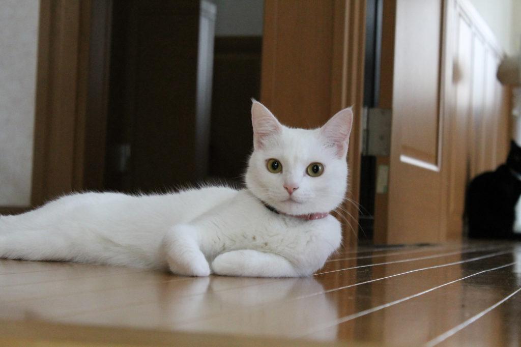 優雅に構える白猫のマロ