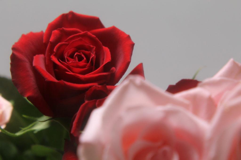 真紅の薔薇の花