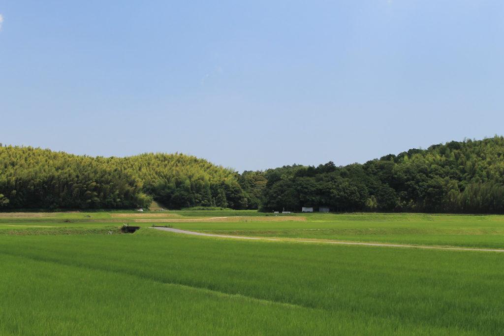 稲の絨毯(じゅうたん)と雲一つない青空