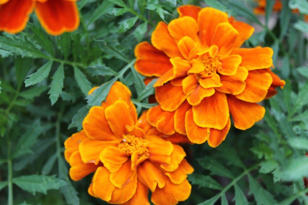 マリーゴールドの花言葉、誕生花