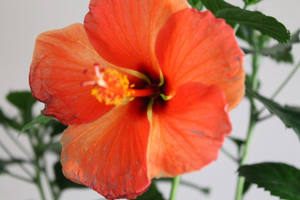 ハイビスカスの花言葉、誕生花