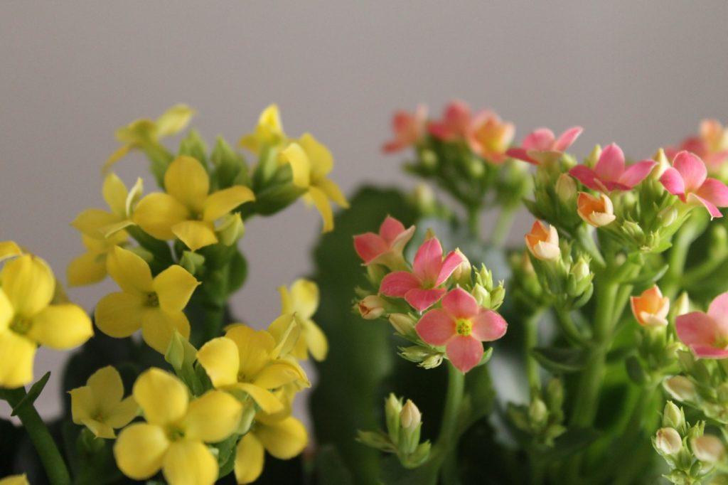カランコエ黄色とピンクの寄せ植え2