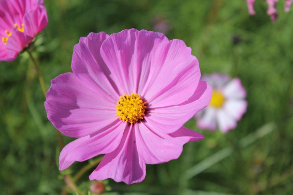紫の花びらと黄色の花粉 コスモス4