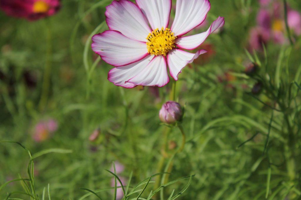 ピンクで縁取られた綺麗なコスモスの花びら3