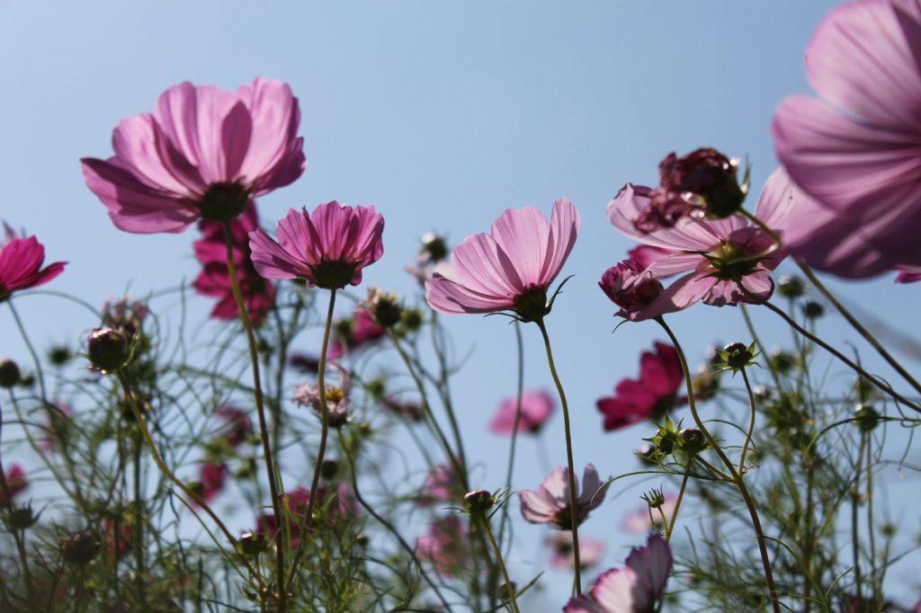紫の半透明が美しいコスモスの花びら