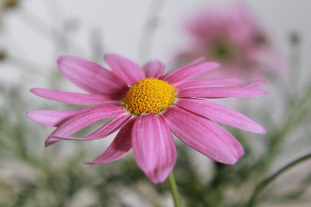 マーガレット ピンク色2
