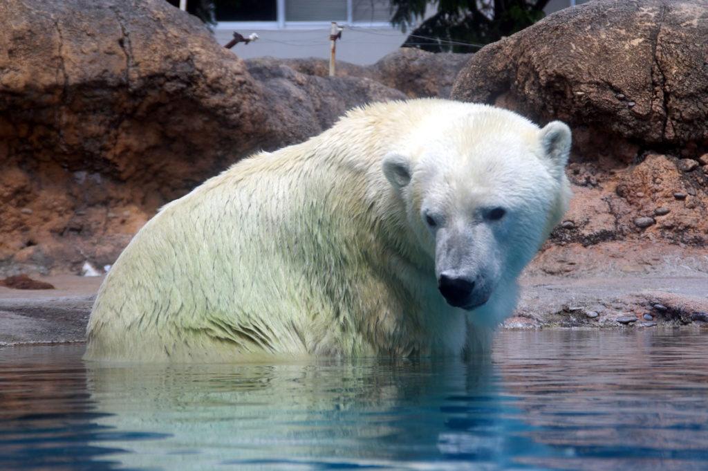 もう一度水中に行こうか考え中の白熊