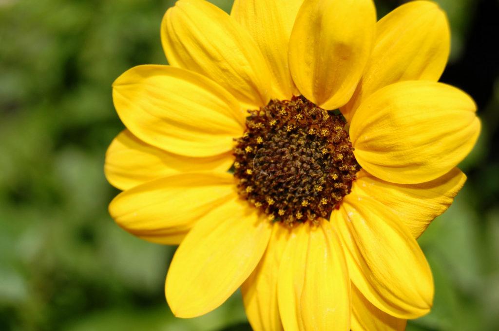 ひまわり🌻(向日葵)花言葉の英語表記