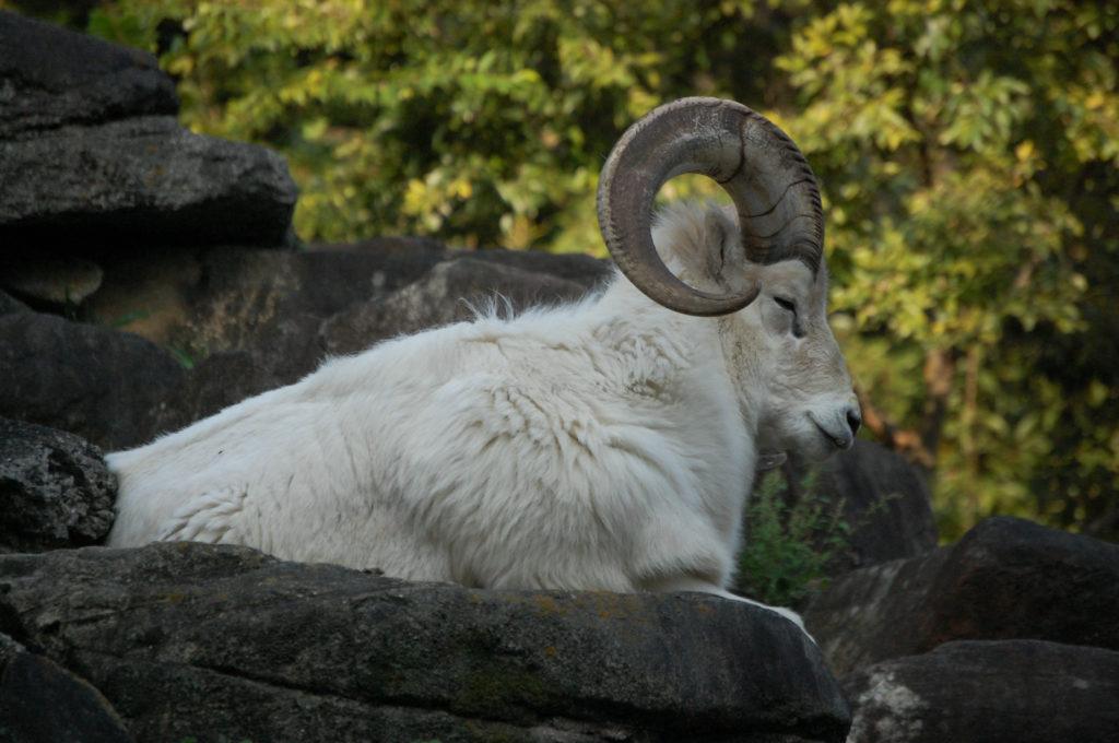 高いところが好きな山羊(ヤギ)