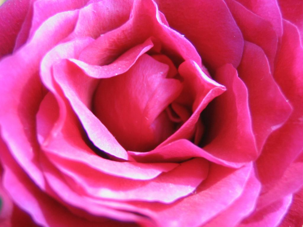 ピンクの薔薇を日の丸撮り