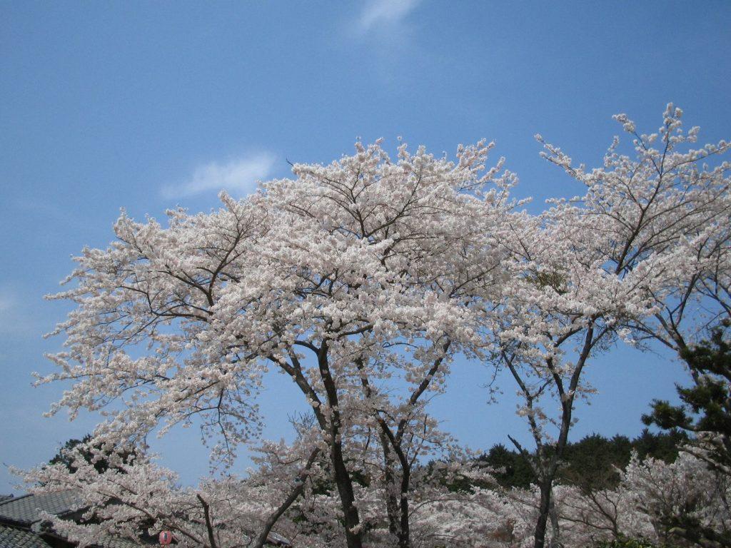 花がこぼれ落ちそうなほどの満開の桜
