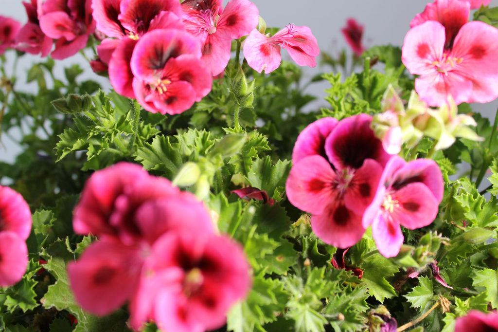 ペラルゴニウムの花言葉、誕生花