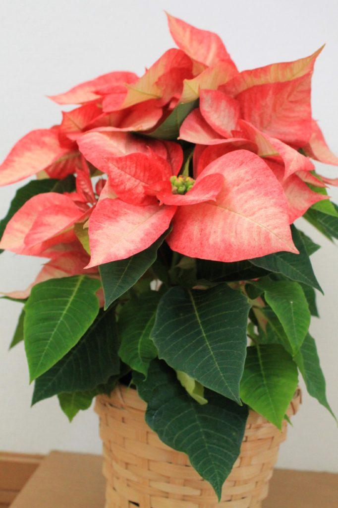 ポインセチアの花言葉、誕生花