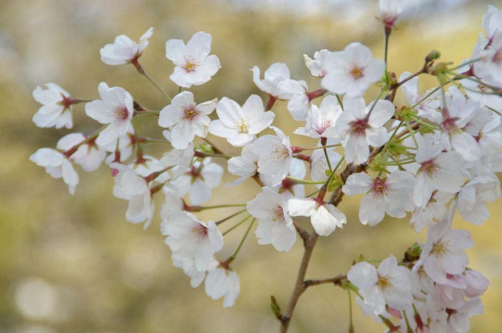 いまにも風で飛ばされそうな満開の桜の花びら
