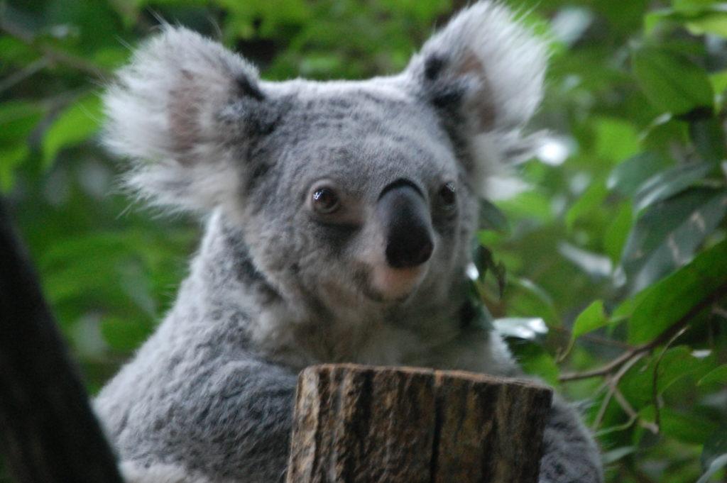 寝起きのコアラ