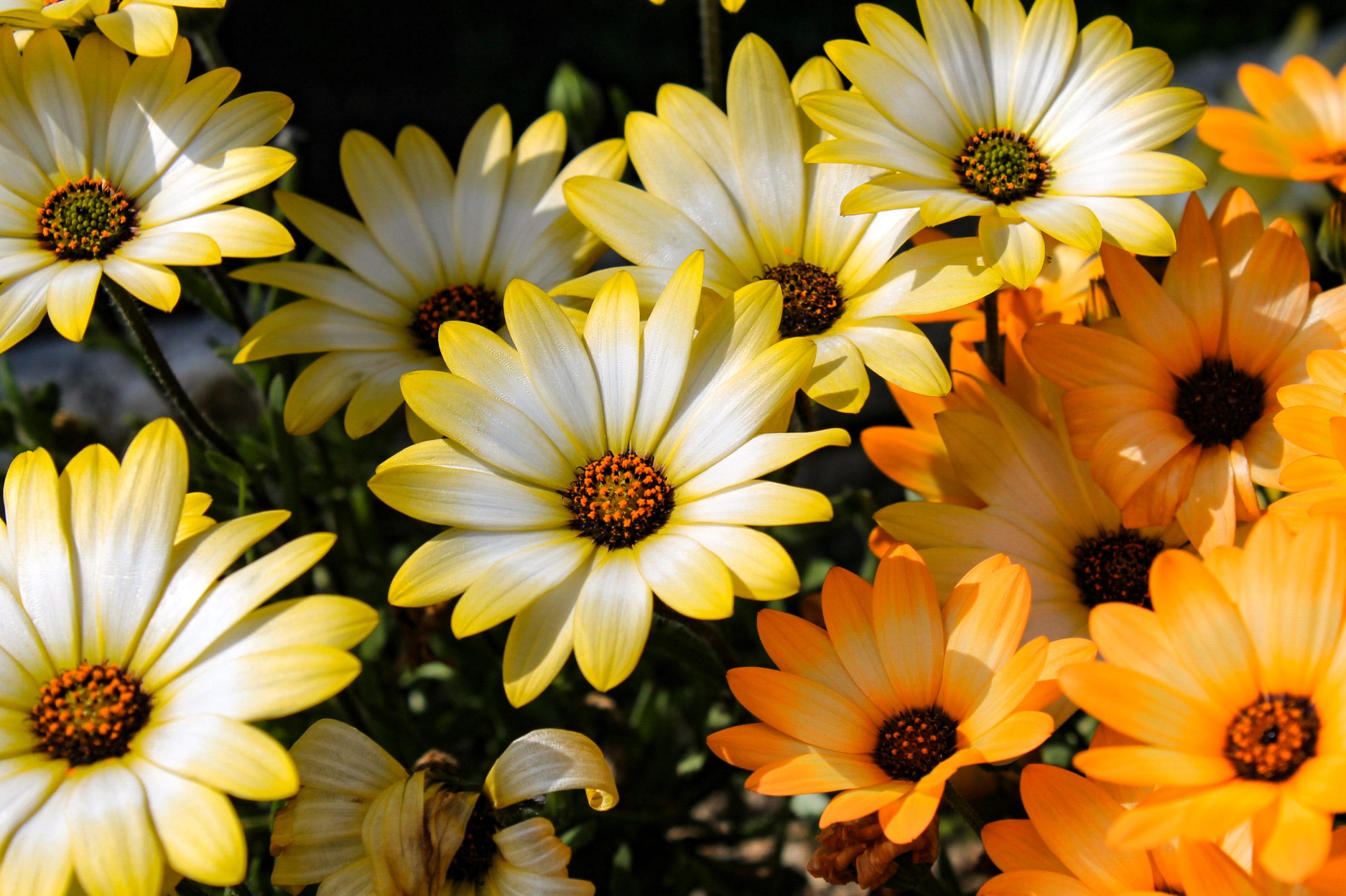 黄色とオレンジ色のデイジー