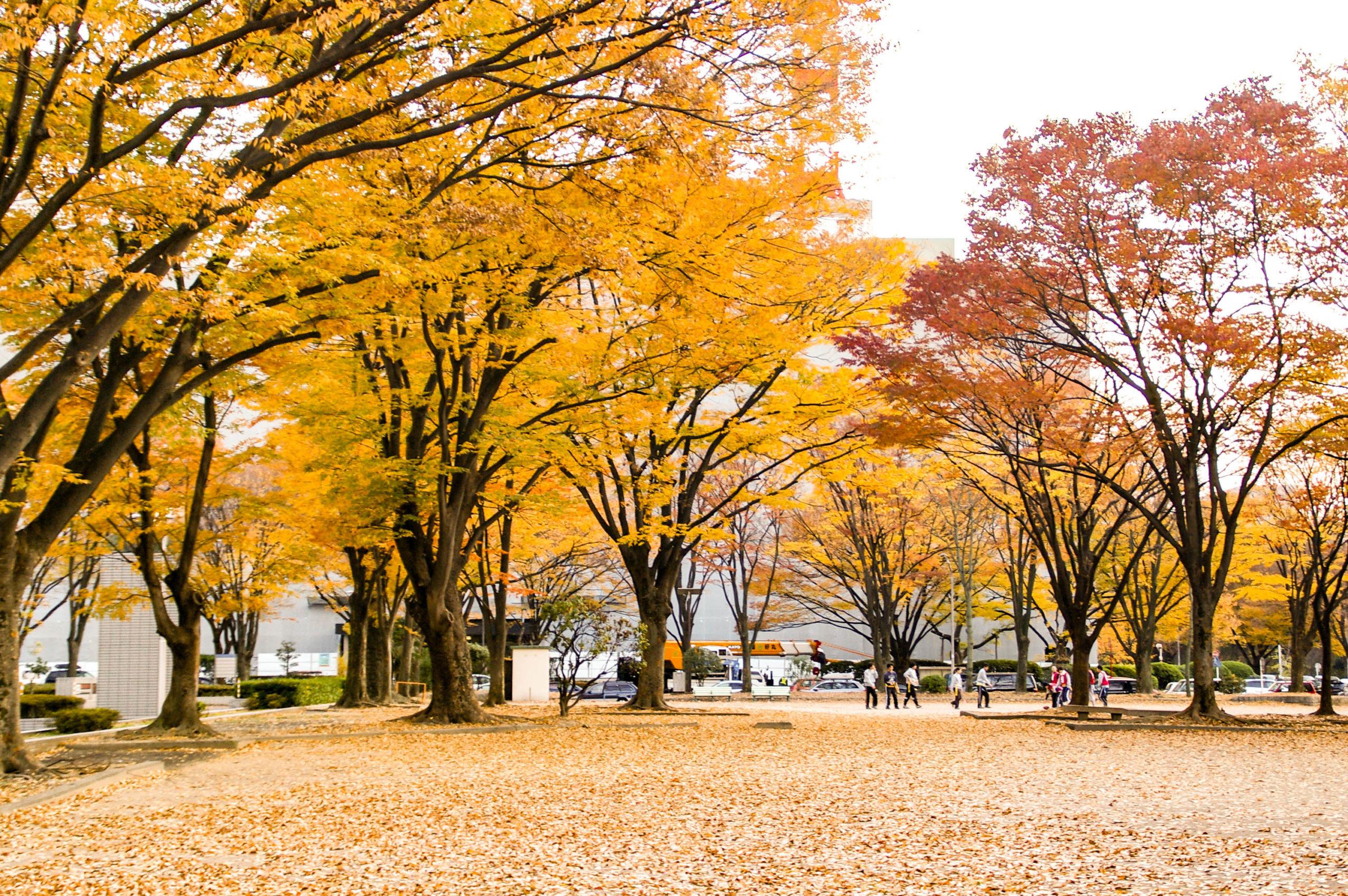 銀杏並木の写真